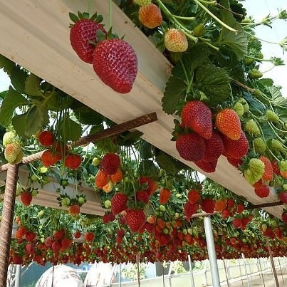 Hanging strawberries grown in gutters - Homefix Pinterest