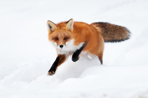 theanimalblog:  Red Fox Running. Photo by Alex Mody
