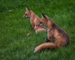 Watching the World Go By by dherman1145 on Flickr.Fox Fam
