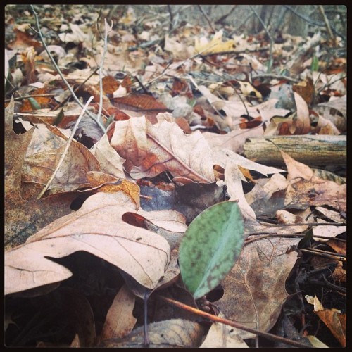 Spotted: Trout Lily. #foraging #spring #wildedibles #localfood