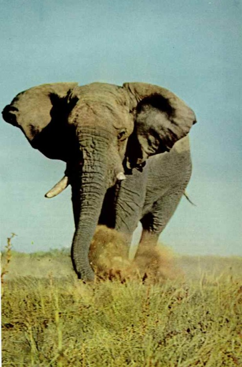 vintagenatgeographic:  Broken tusked elephant in Etosha National Park, South-west Africa National Geographic | February 1972