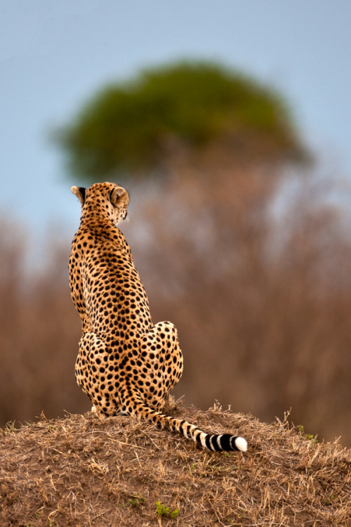 the-natural-world:  Cheetah 10 by ~catman-suha