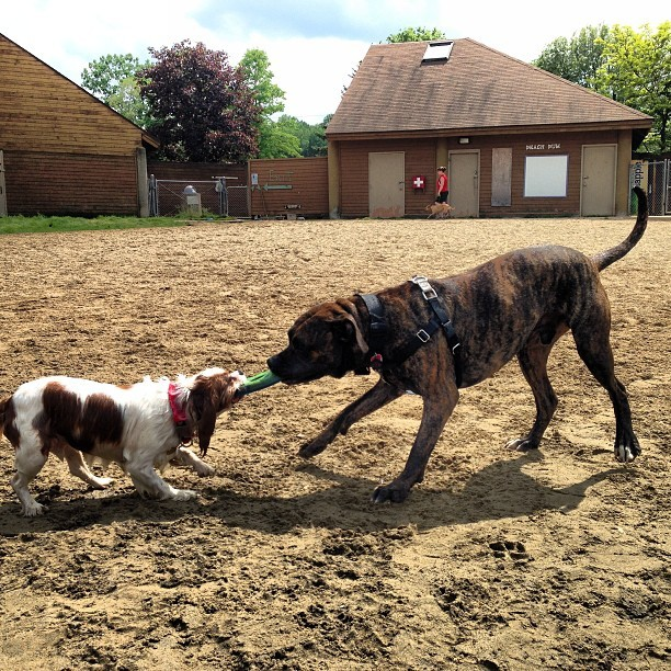 This is how #rex does the #dog #park #tugofwar with a #cocker #spaniel and his #frisbee #thief #mastiff #americanmastiff #bullmastiff #mix #brindle #xlbreed #pit #pitbull #pitstagram #dogpark #stow #ohio #spring #swimming @_gorejess_ @giantbreedlovers