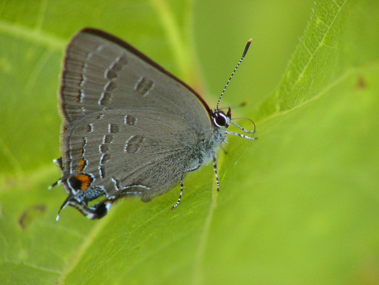 Banded hairstreak butterfly, credit: Peter Ferguson