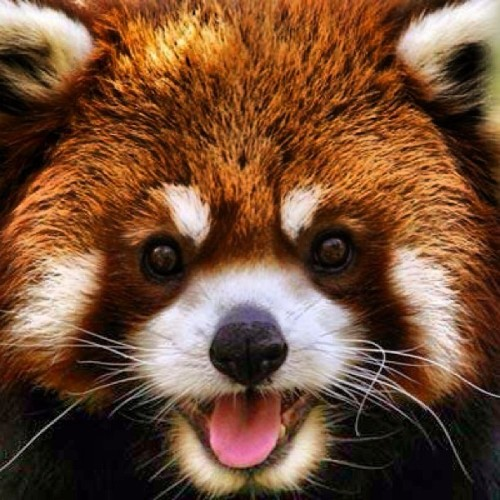 The Endangered Red Panda is native to Southwestern China and there are less than 10000 of them in the world. #cute #panda #animals #picoftheday #photooftheday #love