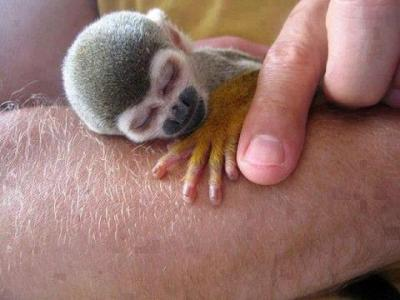 humanmonke:  Squirrel Monkey - Alys Grant