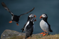 Puffins return to their summer breeding grounds on the Farne Islands as National Trust rangers carry out a puffin census, Seahouses, UK Photograph: Jeff J Mitchell/Getty Images