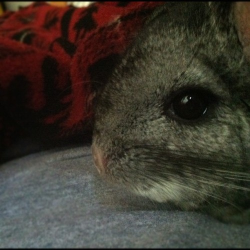 Saturday morning snuggle #chinchilla #tiki
