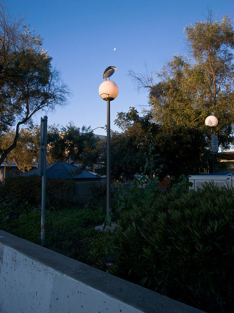 Black-Crowned Night Heron, Lamp, Moon on Flickr.  An auspicious middle to my first commute of the year.
