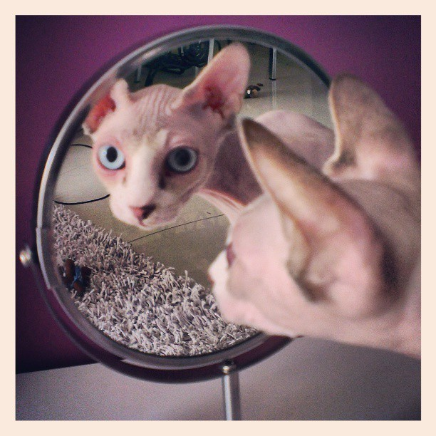 #sphynx #catstagram  #instacat #sphynxcat #reflection #mirror #Carlos #blueeyes