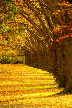 7000stars:  Tree row in fall (by Matthias Siewert)