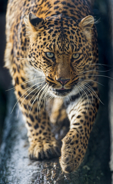 deboracpq:  Leonie walking down the log by Tambako the Jaguar on Flickr.