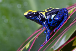 earthlynation:  Dart Frog by AngiWallace