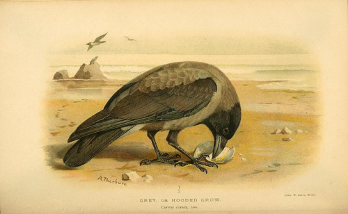 jomobimo:  Grey or Hooded Crow, Coloured Figures of the Birds of the British Islands / issued by Lord Lilford, 1885-1897