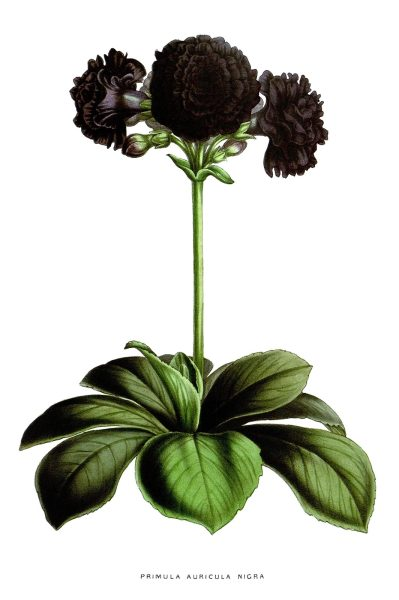oldbookillustrations:  Primula auricula nigra   From Flore des Serres et des Jardins de l'Europe (Flowers of the Greenhouses and Gardens of Europe) vol. 4, by Charles Lemaire, Michael Scheidweiler, and Louis van Houtte, Ghent, 1848.  (Source: archive.org)