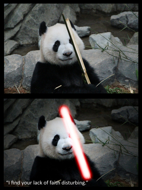 Darth Pander (Kai Kai from Singapore Zoo)