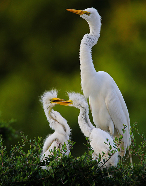 Adult Egret with Chicks (by Let there be light (Andy))