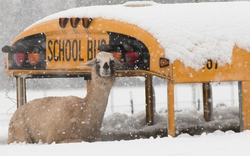 theanimalblog:  A llama seeks shelter from the snow next to an abandoned school bus at Cox Farms in Centreville, Virginia.  Picture: Win McNamee/Getty Images
