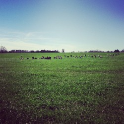 I scared them off :( #landscape #cows
