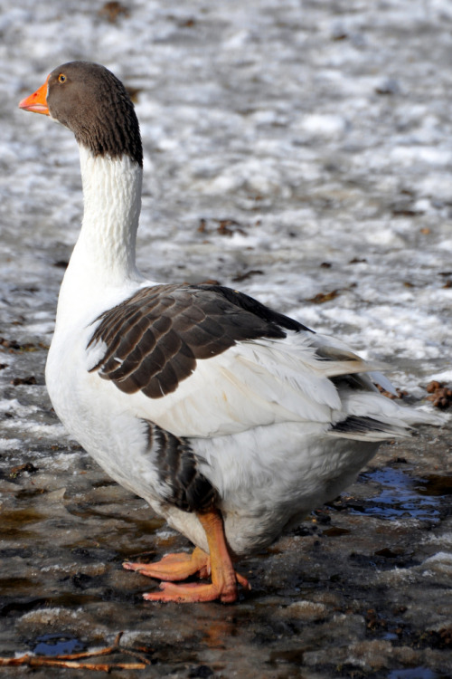 abretumente:  Skånegås / Scania Goose (Anser anser domesticus) (por Martin1446)Follow this blog. You'll LOVE it on your Dashboard click here and click yes!!