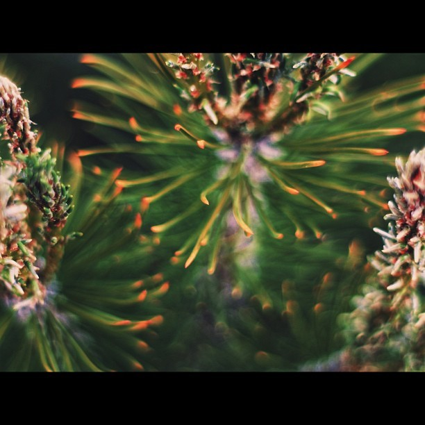 Pine Needles… This #Konica #Hexanon lens has so much potential for $80 dollars I paid for it! Thee #bokeh is marvelous!
