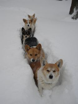 corgiaddict:  Submitted by orchidvine