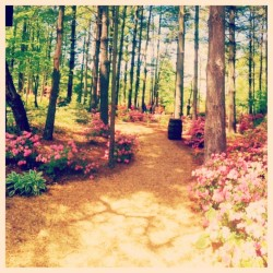 #azalea #path #indiana #trees #flowers #walk #sunshine #spring #green #pink #outside #outdoors #mothersday #bright #beautiful