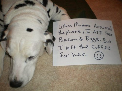 dogshaming:  Waiter, I'd like some bacon and eggs please. Do not leave the plate unattended because you will miss your meal.View Post  This happened a few times in the early days with Auggie (she was 4). I lost a couple sandwiches and my mom lost a burger while answering the phone. I had to laugh. She saw the perfect opportunity and took it