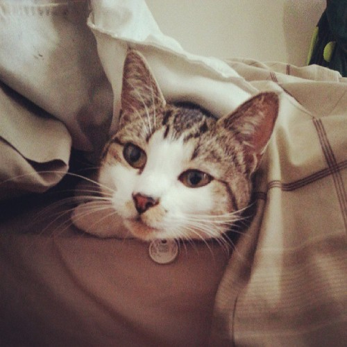 idougit:  #snug as bug. #rue #cat #cute #goodmorning