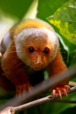 earth-song:  tiny-creatures: Cuscus on Ahe Island by Matti Ovaska