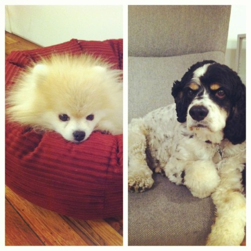 Here, #tommypom & #woodythedog sit upon their thrones. Kings of Tumblr. (at Tumblr)