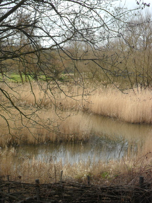 Reed beds and traditional Laid Hedge - Sandwell Valley Park bird sanctuary,  Sandwell, West Bromwich, England All Original Photography by http://vwcampervan-aldridge.tumblr.com