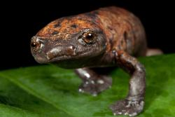 rhamphotheca:  Northern banana salamander (Bolitoglossa rufescens), an arboreal lungless salamander (family Plethodontidae) that lives in forests in Central America . (photo: © Robin Moore/iLCP)      (via: Conservation International)