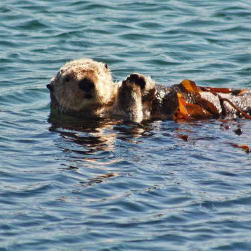 dailyotter:  Sea Otter Winks at the Camera Via johndomingo