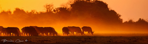 "Buffalo Herd On The Move by Brendon Cremer. ""Large herd of Buffalo moves out of the thickets led by their path finder onto the open flood plains of puku flats as the sunsets along the banks of the Chobe River, Botswana."" Thank You, Brendon! brendoncremerphotography Source: 500px.com"