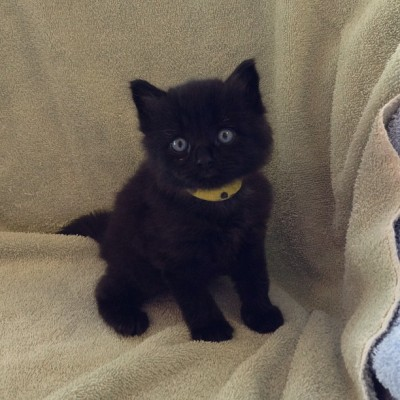 Hi, I'm #Soot! I'm one of four black brothers looking to be #adopted into our #foreverhome #kitten #meow
