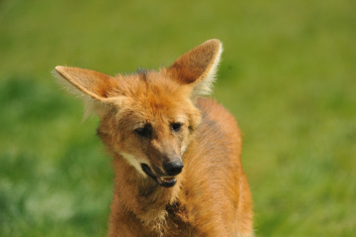 theanimaleffect:  Maned Wolf by Ami 211 on Flickr.