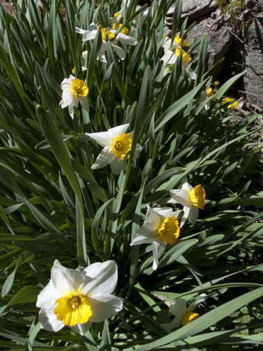 """Narcissus""Dutchess County-NY"