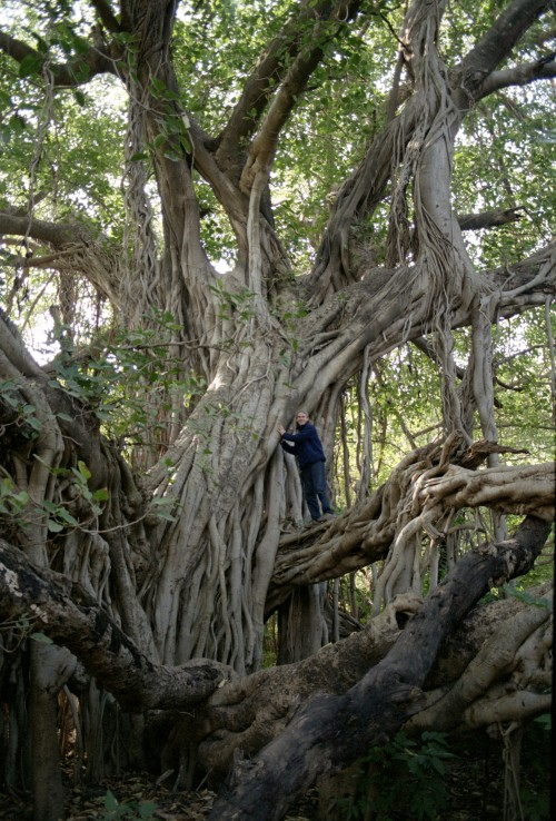 crashinglybeautiful:  Giant banyan. India, 1995 via: incorrigibleexplorer.