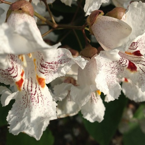 #catalpa #flowers #tennessee these blooms are the prettiest thing about this tree and very shortlived.  Otherwise it's a nuisance tree.
