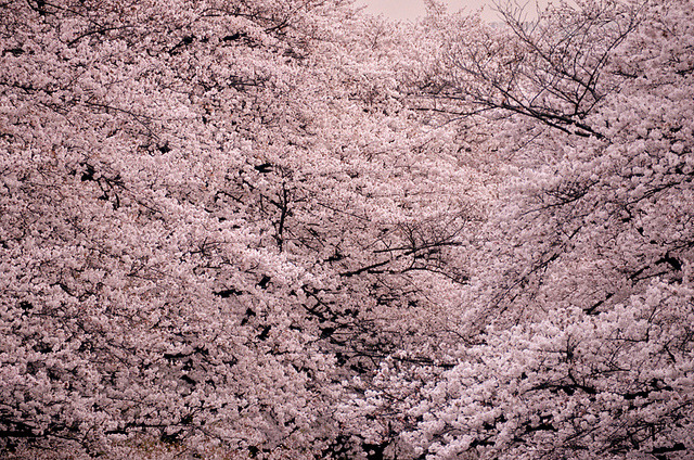 cherry blossom on Flickr.
