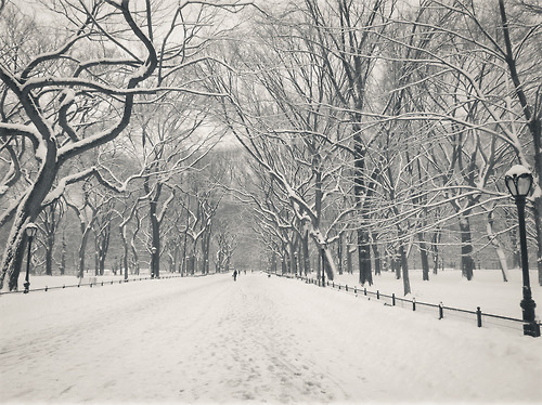"Central Park winter - Poet's Walk in the snow. New York City.  I love heavy snowfall and I found myself braving the super high wind gusts to wander around a mostly empty Central park during one particularly rambunctious blizzard. I don't really recommend it and thinking back, it was a bit risky considering that the wind gusts were around 55 mph and higher. Wind gusts and trees don't make for the safest of combinations. However, I have never seen Central Park in such a serene state.  The only people who were in the park that day were small amounts of people who lived in the surrounding neighborhoods, brave tourists and intrepid photographers with giddy expressions on their faces. I could probably count on both hands the number of people I encountered and I ended up covering most of the park on foot that day (I was never so happy to get home and drink hot chocolate that evening).  This part of Central Park is known as The Poet's Walk or Literary Walk. The reason why this part of the park is known as Poet's Walk and/or Literary Walk is because at the very end of this section, several statues of famous writers line the path. It's at the southern end of a section called The Mall.  The Mall is only straight line in Central Park and the trees that line it are its crowning and most distinctive feature. They are American elm trees and are the largest and last remaining stands in all of North America. Over the years, other large grouping of American Elm trees have been destroyed by Dutch Elm disease but Central Park's conservancy has saved a majority of the remaining trees in the park despite losing around 40 trees in the last few years to this contagious fungus. The recent Hurricane (Superstorm Sandy) also directly impacted the amount of elm trees in Central Park in a negative way.  The Poet's Walk is one of my favorite spots in the autumn and winter because the trees look their most graceful and beautiful during these seasons. The leaves turn a beautiful golden yellow in the autumn and the elegant branches seem to reach out to each other when covered by freshly fallen snow in the winter.   —-  View this photo larger and on black on my Google Plus page  —-  Buy ""Serenity - Central Park Winter - Poet's Walk - New York City"" Posters and Prints here, email me, or ask for help."