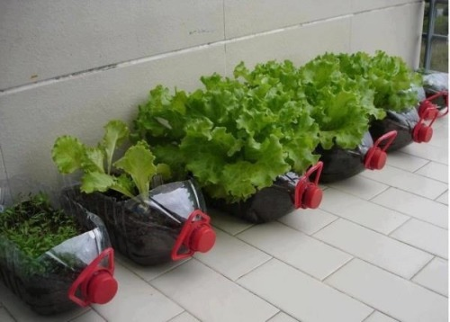 greenlivingagent:  Another nifty way to grow lettuce in an old jug. Especially great if you don't have a yard!