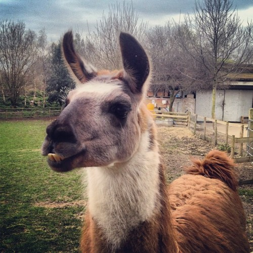 Curious Encounter • hello Boxer! • #llama #mudchutefarm #isleofdogs #londondocklands #eastlondon #london #england #greatbritain #unitedkingdom #cityfarm #greengrass #barebranches #greycloud #straw #teeth #brown #white #grey #hairy #close #winter #afternoon #6thMarch #2013 #closeup #sierra #lux #st #thest (at Mudchute City Farm)