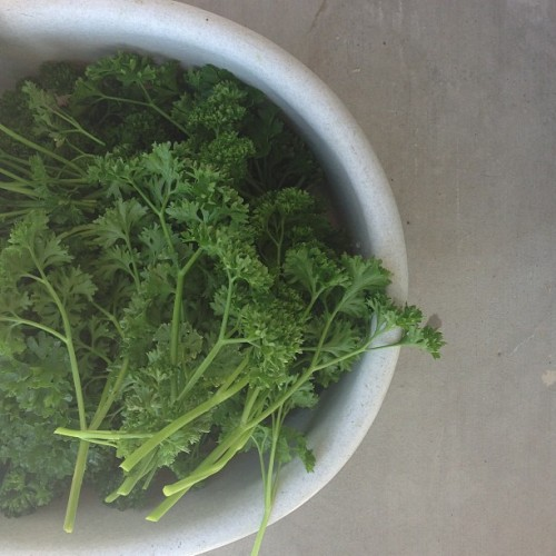 Parsley from my mama. I love my mama! #homegarden