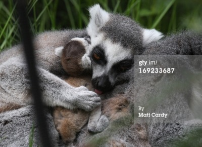 bristol-zoo-welcomes-their-new-baby-ring-tailed