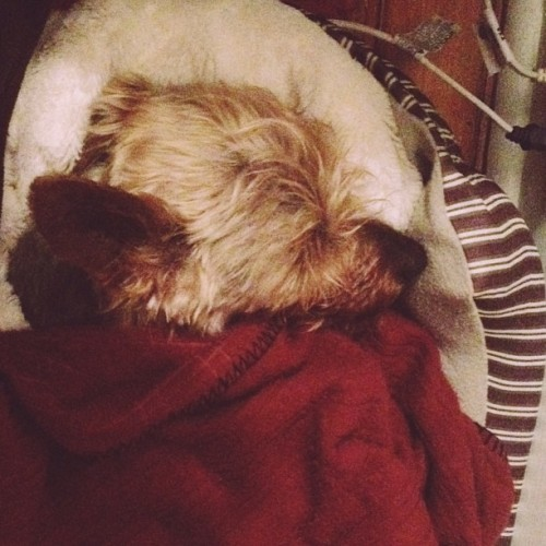 All tucked in for the night. #australianterrier #chewbacca @bencapozzi