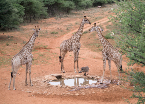 "theatlantic:  Friday Fauna: 3 Tall Giraffes and 1 Short Warthog  ""One of these does not belong."" [Image: Cheetah Conservation Fund]"