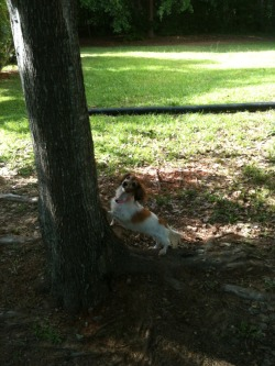 southernnerd:  She found a chipmunk and chased it up a tree and she is so proud of herself.