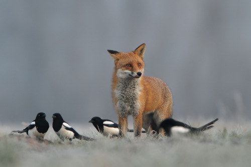 Foxes are not hostile in nature, instead they are seen as a king-like figure in the animal kingdom.